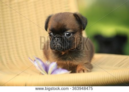 Pitty Brabanson, A Fawn Breed Puppy, Lies On A Wicker Chair Outdoors Next To A Purple Flower In The