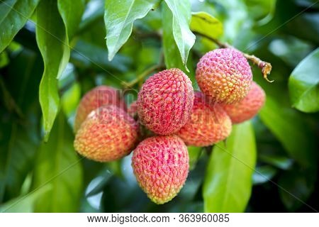 Brunch Of Fresh Lychee Fruits Hanging On Green Tree.