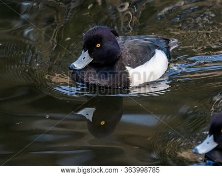 A Male Japanese Tufted Duck, Aythya Fuligula, Swims In The Pond At Izumi Forest Park In Kanagawa Pre