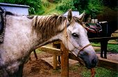 a hawaiian trail horse after a ride through kauai poster