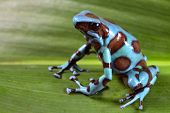 Blue poison dart frog of Rainforest in Panama poster