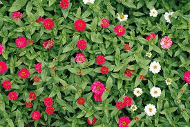 Flower Background Of White And Pink Zinnias In The Summer Garden. The View From The Top