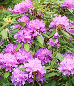 Purple Rhododendron In Highlands,of Blacksea, Close Up