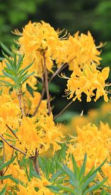 Yellow Rhododendron In Highlands Of Turkey, Close Up