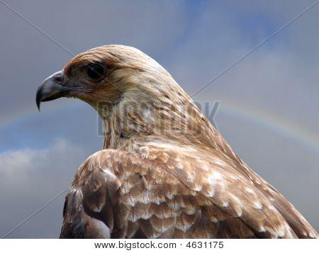 the kite is an Australian bird of prey poster