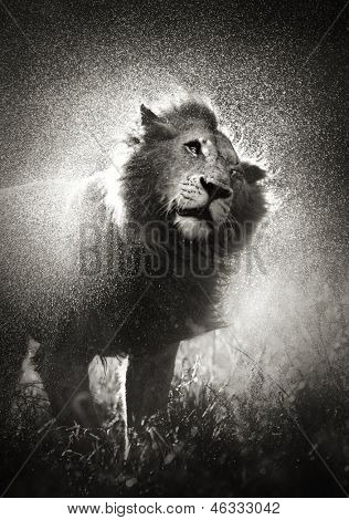 Male lion shaking off water in rainstorm - Kruger National Park - South Africa