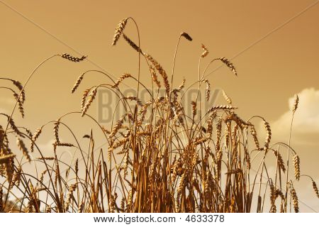 Wheat Ears Close Up View With Sky Toned In Sepia