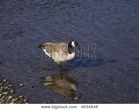 A Canadian Goose standing near the rivers edge poster
