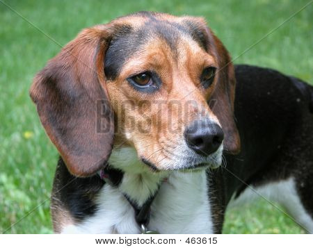 Beagle Hound Dog