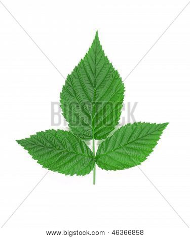 Raspberry leaf.