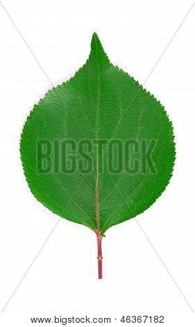 Apricot leaf.