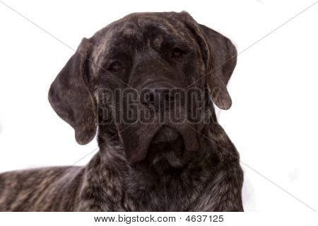 Beautiful face of an young English Mastiff dog. This large breed puppy has floppy ears and droopy lips. She is brindle in color and is isolated on a white background. poster