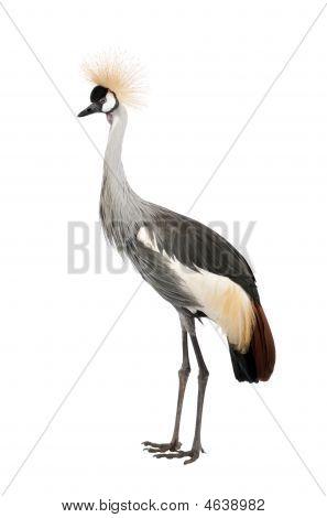 Grey Crowned Crane  Balearica Regulorum (18 Months)