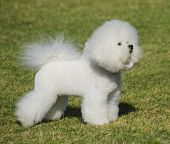 A small beautiful and adorable bichon frise dog standing on the lawn and looking cheerful. poster