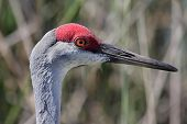 Profile of a Sandhill Crane (Grus canadensis) in the Florida Everglades poster