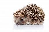 Prickly hedgehog. Ordinary hedgehog. Omnivore. Prickly animal. poster
