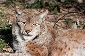 Eurasian Lynx resting in winter grass and leaves poster