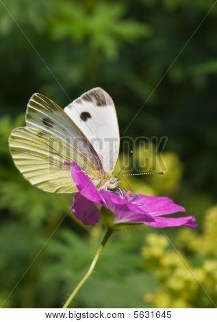 Large white on Geranium flower in the garden poster