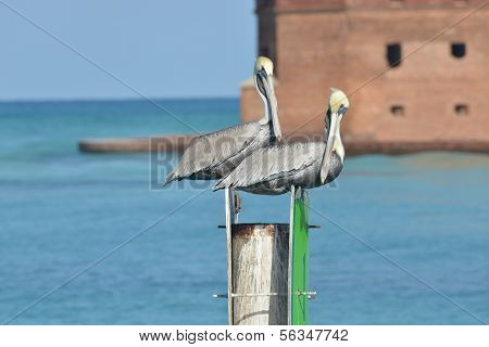 Storms standing on a pillar with Fort Jefferson (Dry Tortugas National Park) in the background poster