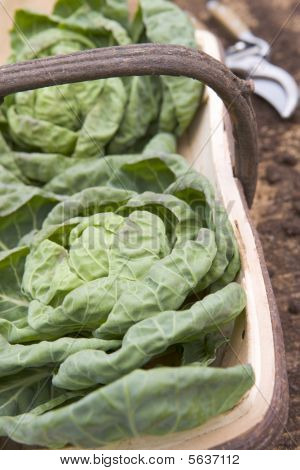 Cabbages in wooden trug poster
