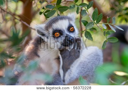 The ring-tailed lemur (Lemur catta).