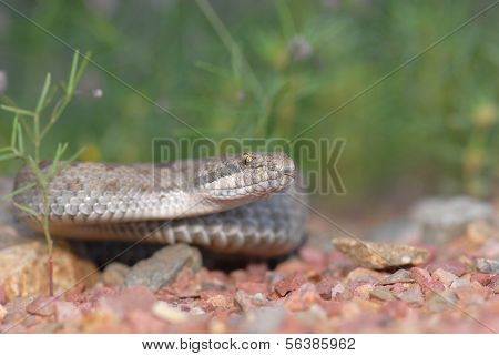 Arizona Twin-spotted Rattlesnake