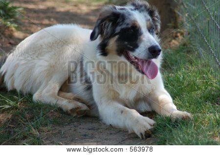 Austrailian Shepherd Mix Lying In Grass