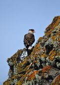 Patagonian Caracara bird of prey on a hillside cliff poster