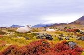 White Icelandic sheep on colorful field, with glacier in background poster