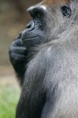 A shot of a Western Lowland Gorilla in the wild poster