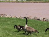 Canada geese having some summer fun and searching for food. poster
