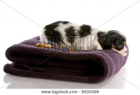 tri color cavalier king charles puppy on fuzzy blanket - six weeks old poster