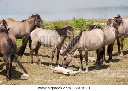 Herd wild Polish horses with young foals near the drinking water poster