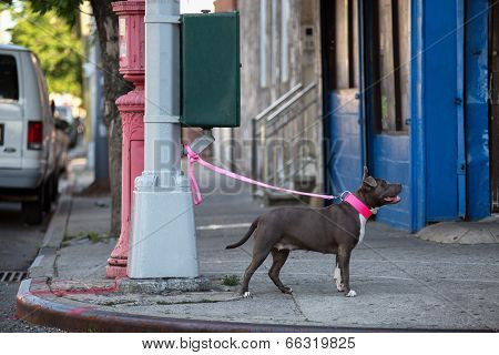 Dog on a pink leash tied to a gray street lamp. poster