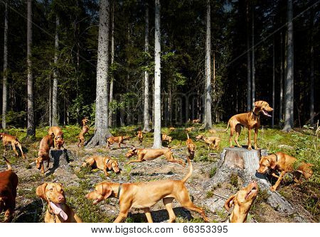 Hungarian Vizsla everywhere