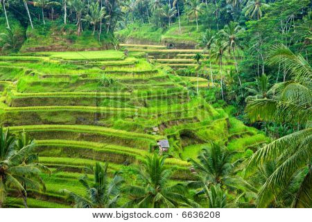 Amazing Rice Terrace Field, Ubud, Bali,  Indonesia.