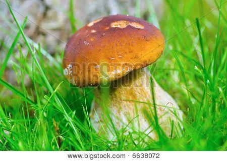 Cep Boletus. Mushroom In Forest