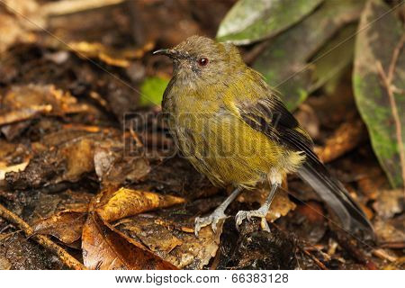 Bellbird In Forest