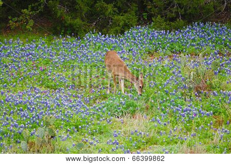 Deer eating and Bluebonnets