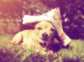 a tiny chihuahua with a paper sailor hat on done with a retro vintage instagram filter poster