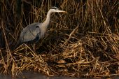 Grey Heron in the reed on the waterside poster