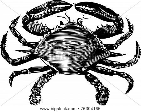 Blue Crab Engraving (callinectes Hastatus)