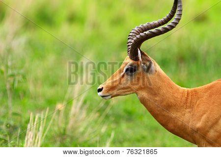 Male impala antilope in Tarangire national park in Tanzania Africa