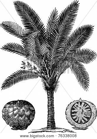 Sago Palm Or Metroxylon Sagu Vintage Engraving