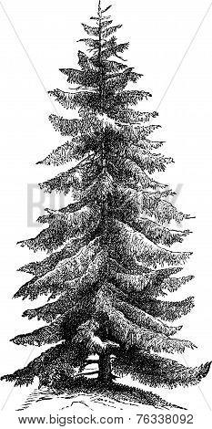 Norway Spruce Or Picea Abies Vintage Engraving