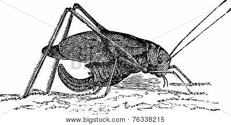Oblong-winged Katydid Or Amblycorypha Oblongifolia Vintage Engraving