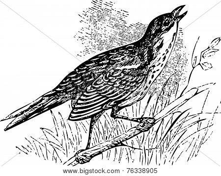 Saltmarsh Sharp-tailed Sparrow Singing