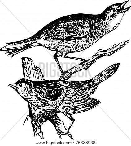 Old Engraving Of A Seaside Sparrow And Lincoln's Sparrow