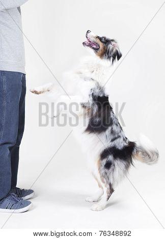 Australian Shepherd With Owner