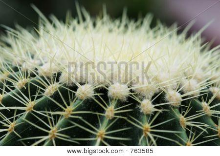 Sharp. Cactus Up-Close